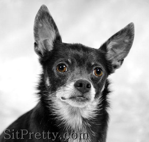 Chihuahua - barkzarre photos