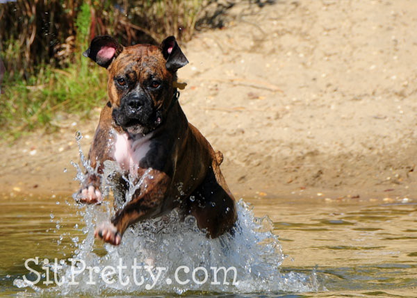 Boxer jumping in water