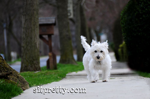 Picture of West Highland White Terrier