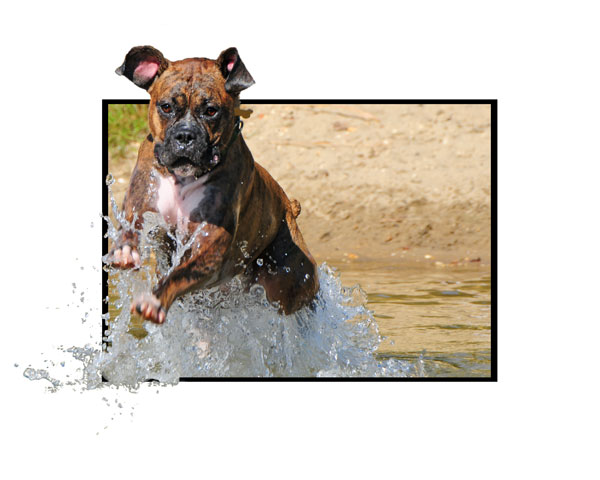 Boxer jumping from water