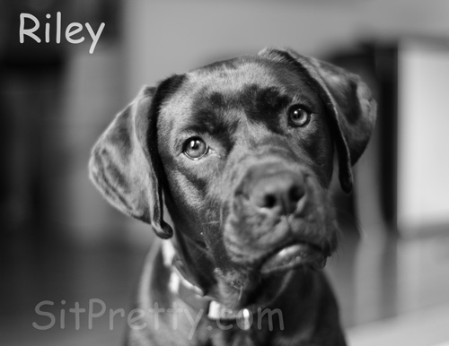 Riley and Kylie - Boxer Lab Sisters  Sit Pretty Photos Sit Pretty ...